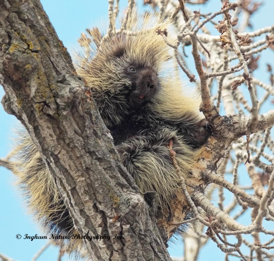 Porcupine - North American