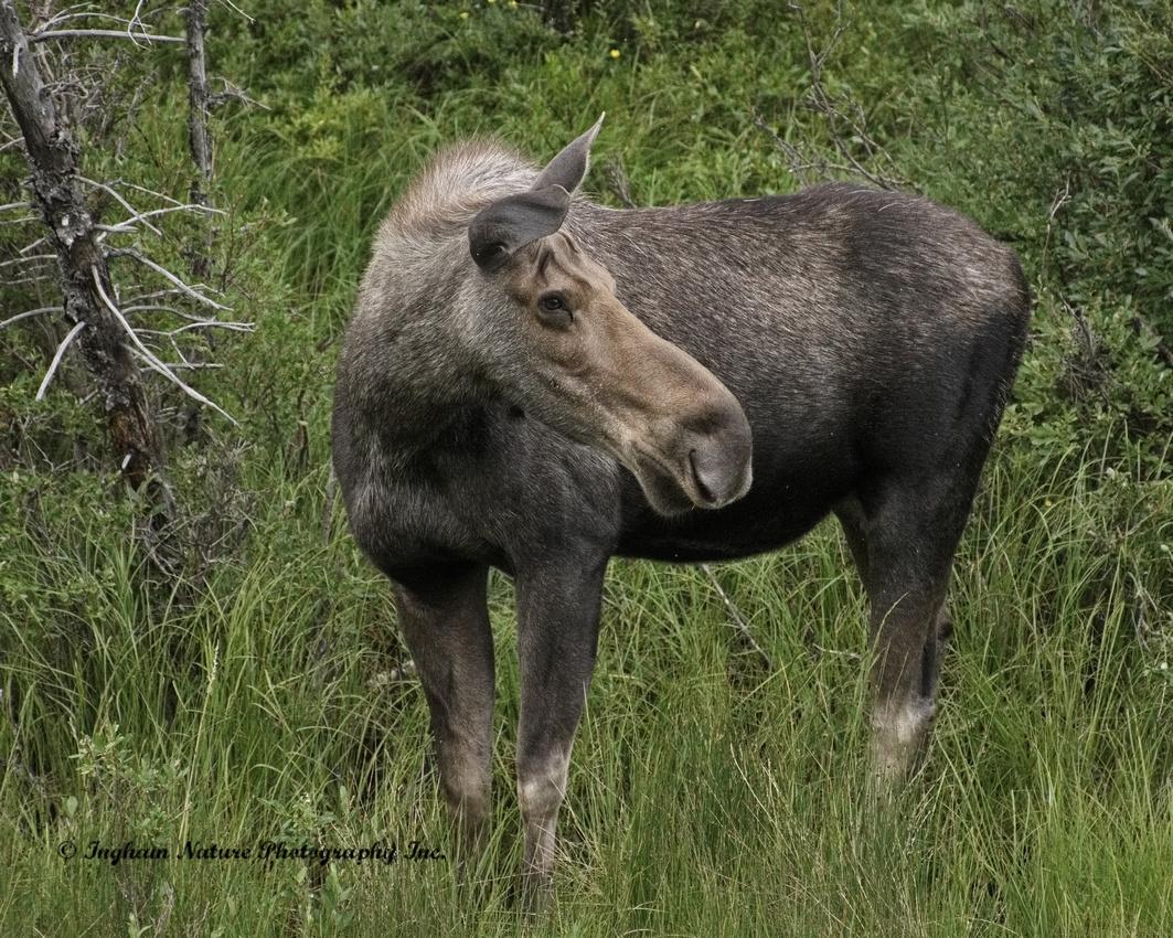 North American Moose - Female