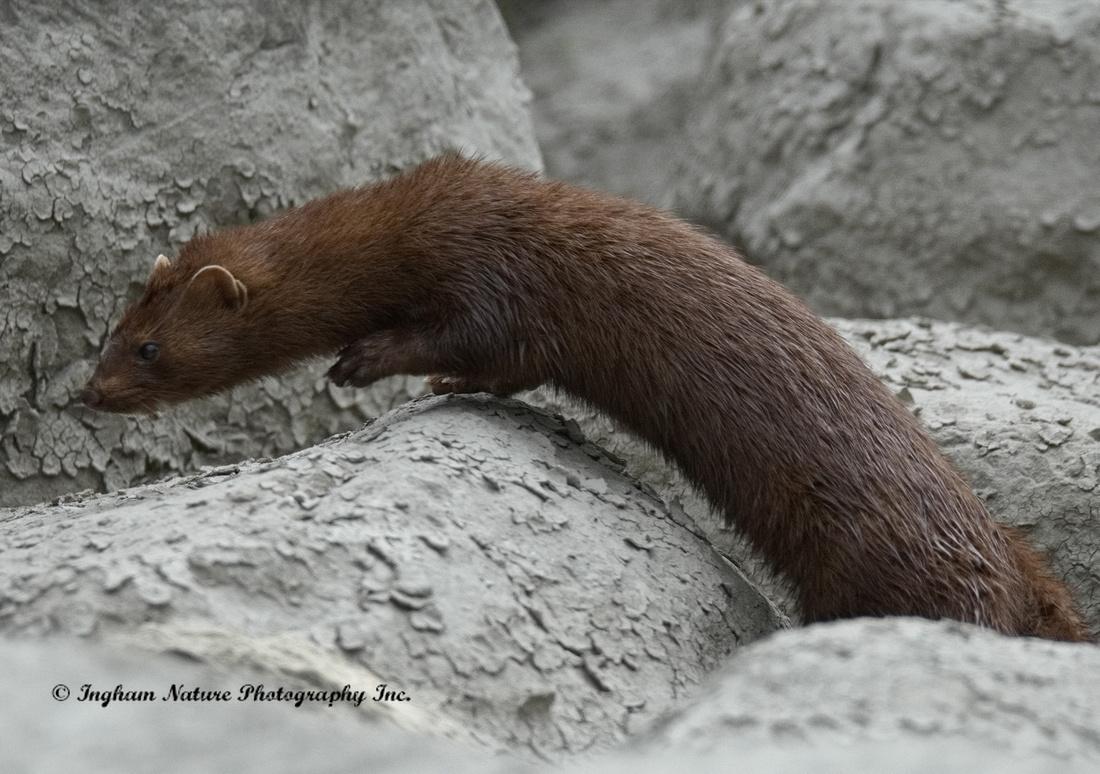 Mink North American