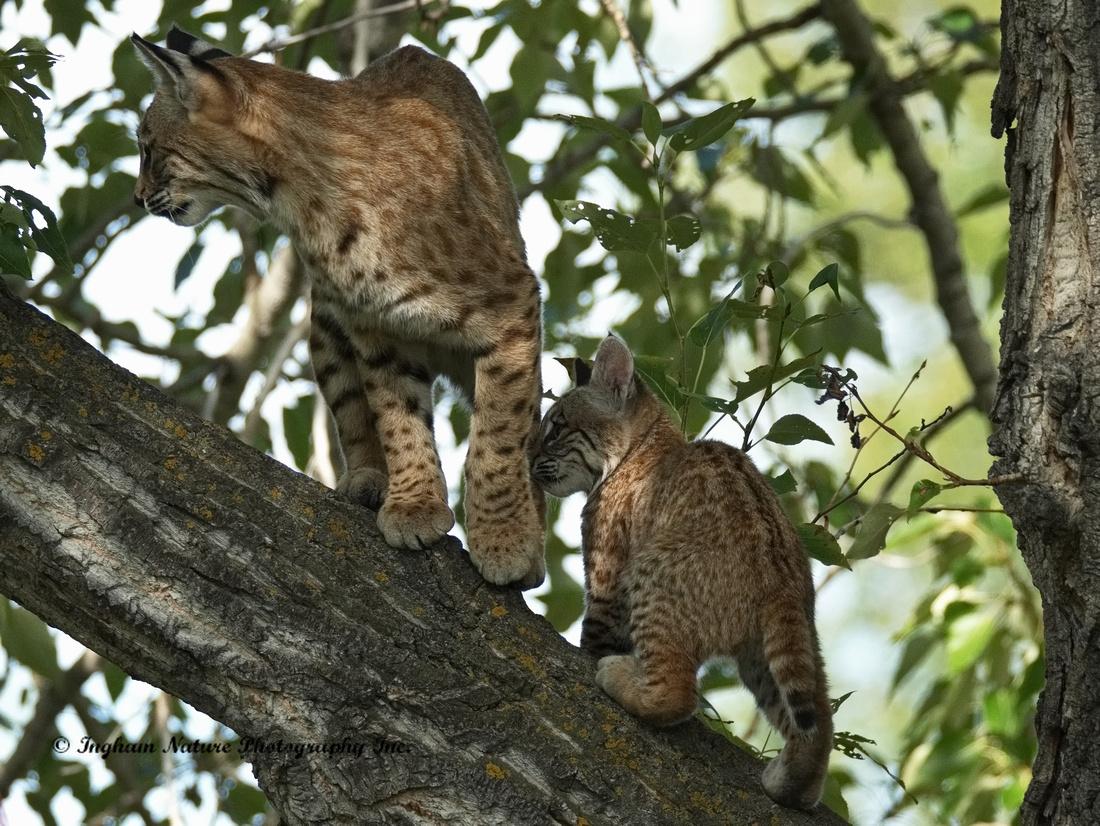 Bobcat (Lynx rufus) - Adult (Female) & Juvenile