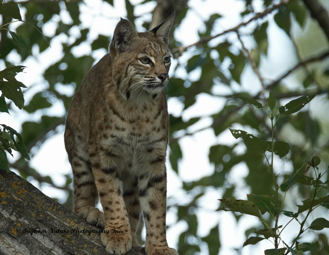 Bobcat (Lynx rufus) - Adult (Female)
