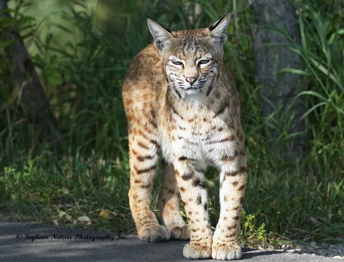 Bobcat Lynx Rufus Adult Femal
