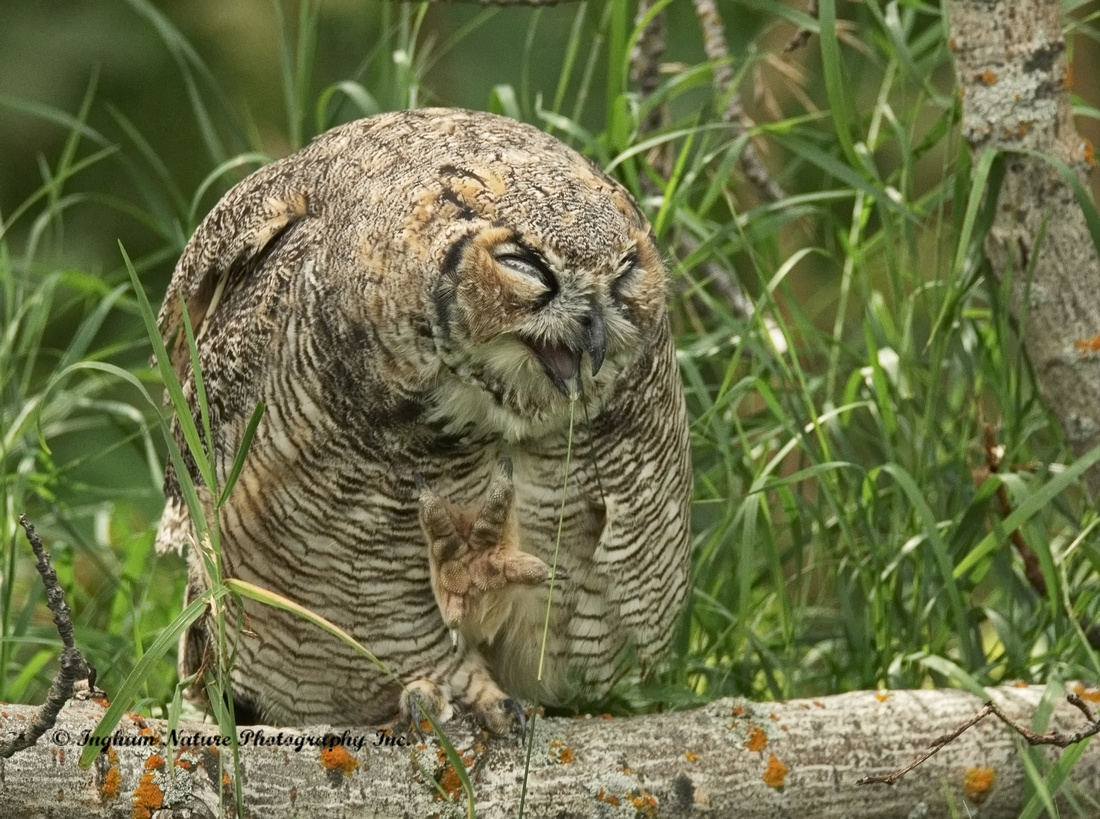 Great Horned Owl - Immature