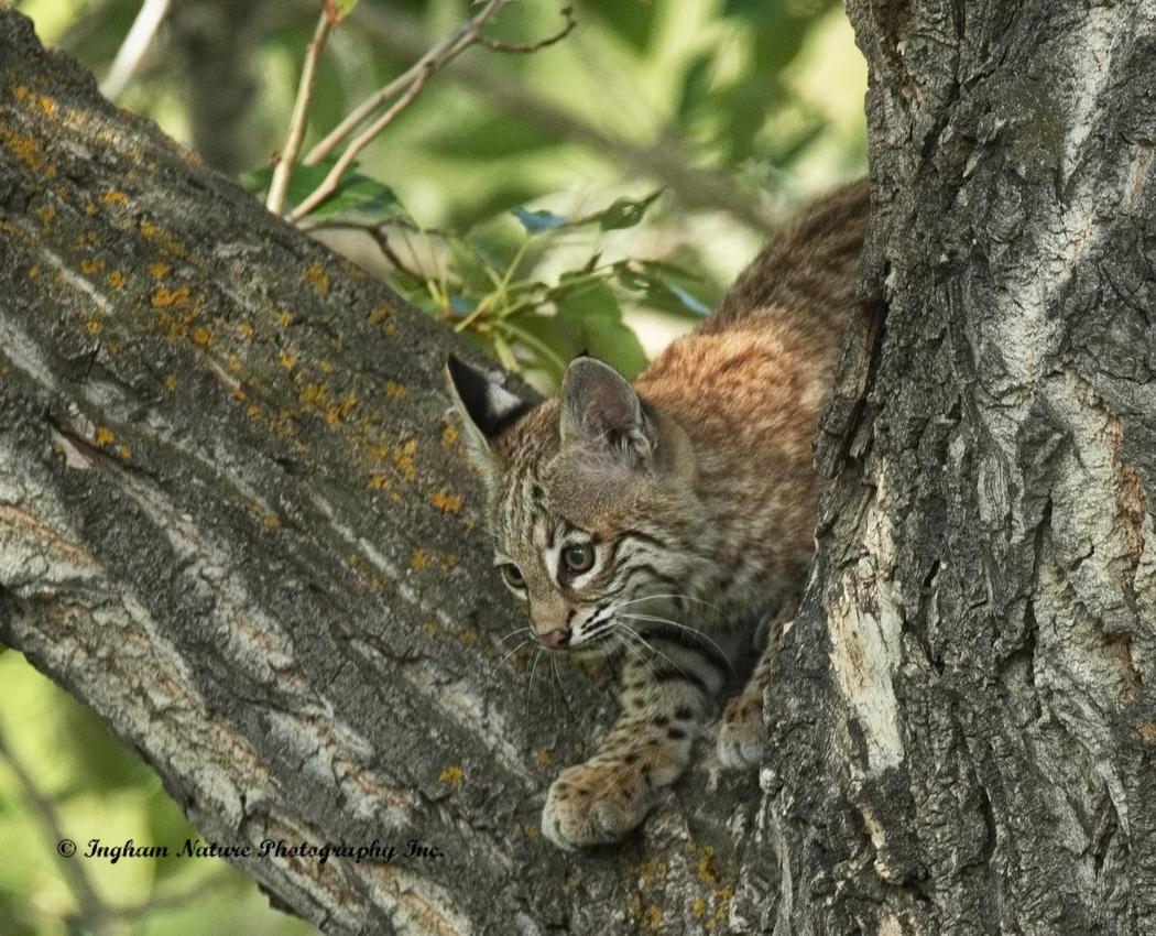 Bobcat (Lynx Rufus) - Juvenile