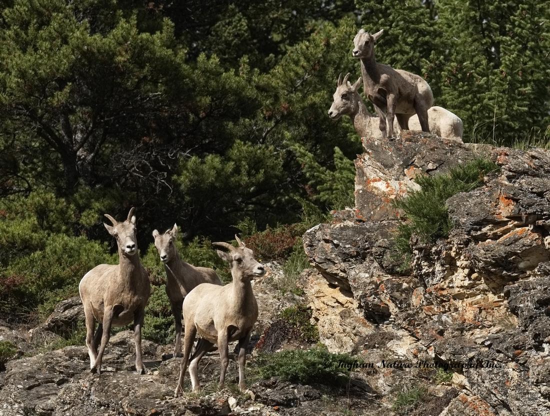 Rocky Mountain Sheep - Females & Juveniles