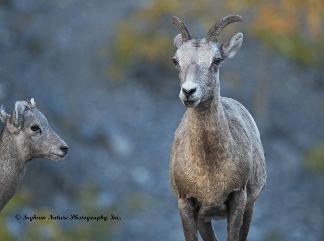 Rocky Mountain Sheep - Female & Juvenile
