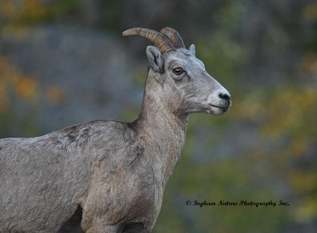 Rocky Mountain Sheep - Female