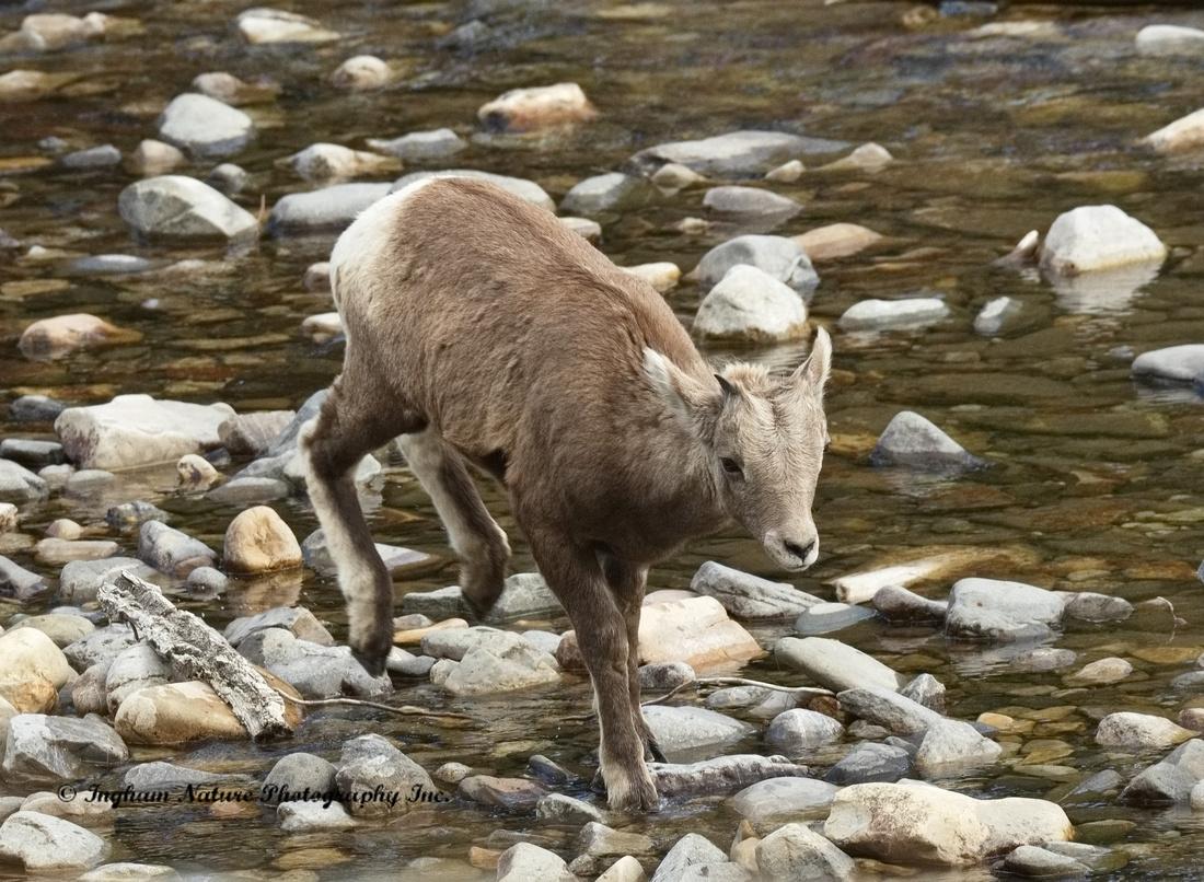 Rocky Mountain Sheep - Juvenile