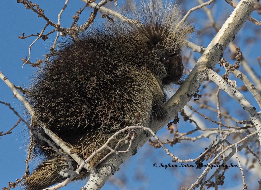 Porcupine - North Aemrican