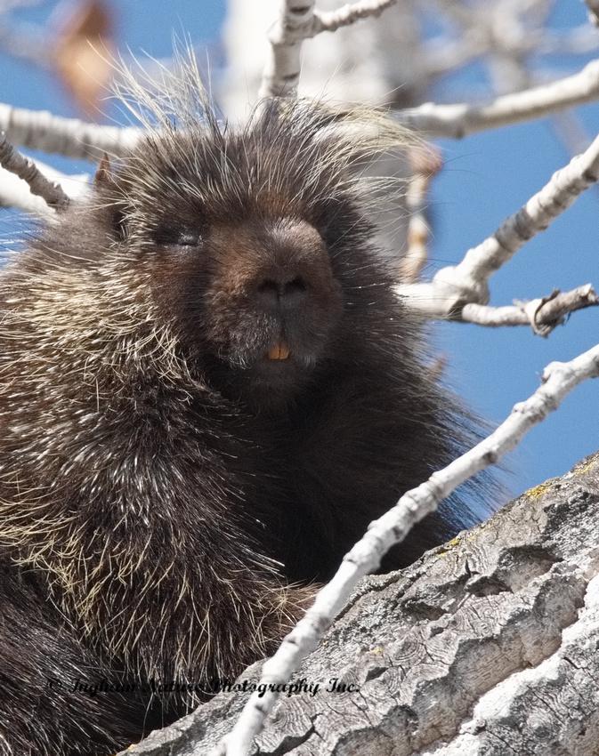 Porcupine (North American)