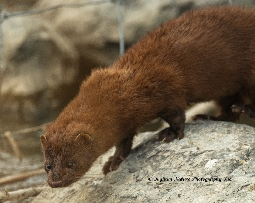Mink (North American)