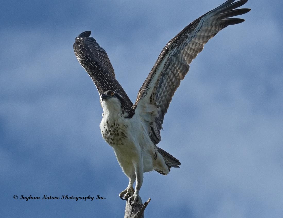 Osprey - Immature