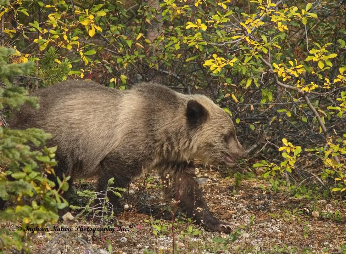 Grizzly Bear - Juvenile