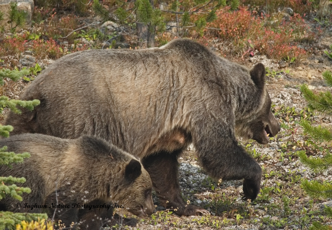 Grizzly Bear - Adult & Juvenile