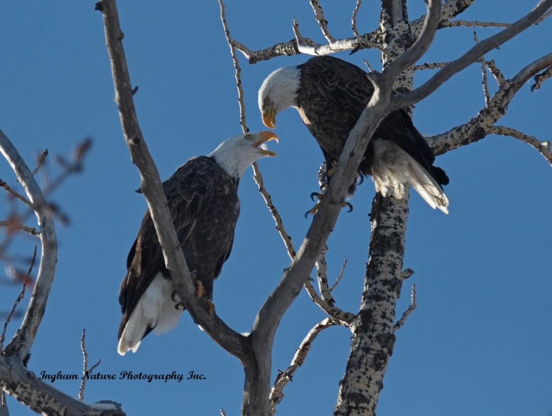 Bald Eagle (American) - Adults