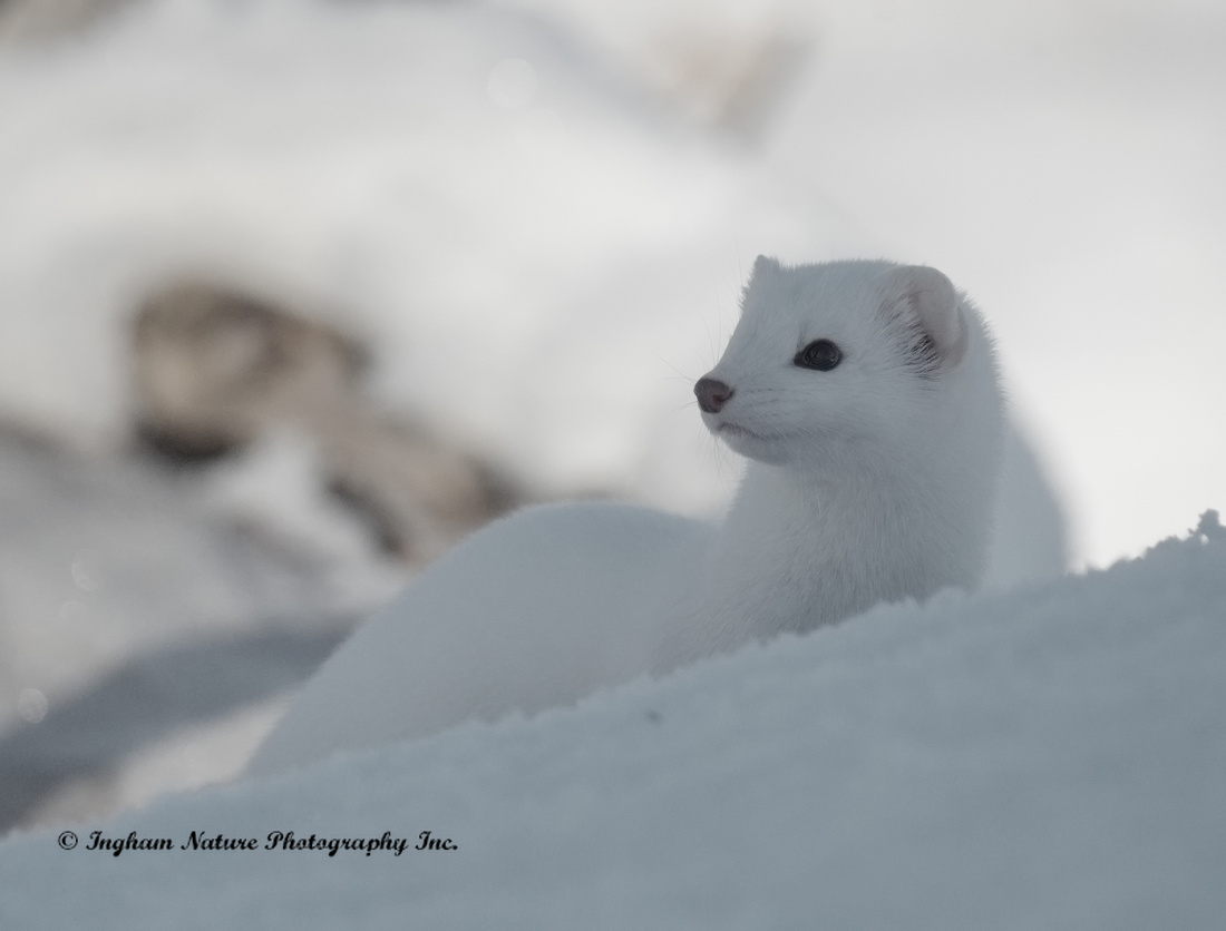 Weasel - Long Tailed