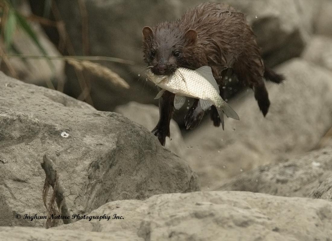 Mink (North American) - Juvenile