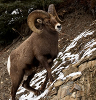 Rocky Mountain Sheep - Male (Ram)