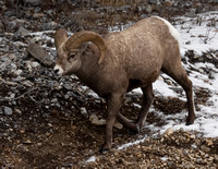 Rocky Mountain Sheep - Ram