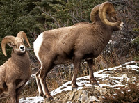 Rocky Mountain Sheep - Males (2 rams)
