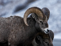Rocky Mountain Sheep - Males