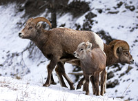 Rocky Mountain Sheep - Female, Juvenile, Male